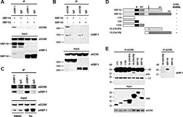 XBP-1S interacts with GCN5 through its specific C-terminal region (A) 293T cells were co-transfected with a GCN5 and an indicated XBP-1 expression plasmid (XBP-1U or XBP-1S). IP was performed by incubating the cell lysates prepared from the transfected cells with anti-XBP-1 (A) or anti-GCN5 (B) antibodies. Normal IgG (IgG) was used as a negative control and non-specific protein bands were marked with asterisks. The immunoprecipitated complexes and the protein inputs were analyzed by Western blotting. (C) Nuclear extracts prepared from cells treated with or without Tm were analyzed IP using an anti-XBP-1 antibody. Tm was dissolved in DMSO and the final concentration of DMSO in the culture was kept at 0.1%. Cells treated with 0.1% DMSO were served as a negative control. The immunoprecipitated complexes and the protein inputs were analyzed by Western blotting. (D) Diagram of XBP-1 truncations. All the constructs were HA-tagged. B , basic domain; ZIP , leucine zipper domain. (E) 293T cells were co-transfected with a GCN5 and an indicated plasmid to express an individual XBP-1 deletion. IP was performed using the anti-GCN5 antibody followed by Western blotting with anti-HA or anti-XBP-1 antibodies.