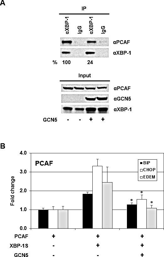 """GCN5 competes with PCAF in binding to XBP-1S and inhibits the recruitment of PCAF to the XBP-1S target genes (A) 293T cells were co-transfected PCAF and XBP-1S expression vectors with or without a GCN5 plasmid. IP was performed using an anti-XBP-1S antibody, followed by immunoblotting with anti-PCAF or anti-XBP-1 antibodies. The amounts of PCAF and XBP-1S proteins immunoprecipitated by an anti-XBP-1 antibody were quantified as described under """"Materials and Methods."""" The XBP-1S protein precipitated in the IP against XBP-1 was used as the input to normalize the amount of PCAF protein detected in the IP. The protein inputs were also analyzed by Western blotting. (B) MCF7 cells were co-transfected with the indicated expression plasmids. ChIP was carried out followed by quantitative PCR to quantify the abundance of PCAF on the BiP, CHOP, and EDEM promoters. Cells only transfected with a PCAF vector were used as a negative control. * P"""