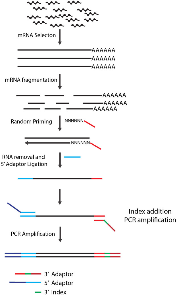 Diagram of LM-Seq sample preparation protocol. Poly-A-tailed mRNA is isolated from total RNA using oligo-dT beads. Purified mRNA is then fragmented with heat in fragmentation buffer. First strand cDNA is then synthesized using random hexamer oligos containing partial Illumina 3′ adaptor sequence. After RNA removal, a modified oligo containing partial Illumina's 5′ adaptor is then ligated to the 5′ of the single stranded cDNA. The library is then amplified by PCR using oligos that contain full Illumina adaptor sequences and our in-house index sequences.