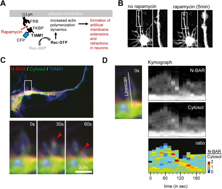 ArhGAP44 is recruited to collapsing artificial lamellipodia in neurons. ( A ) Rapamycin-induced dimerization assay. Neurons were quadruple-transfected with a membrane-anchored FRB, a fluorescently labeled FKBP that was associated with the Rac-GEF TIAM, a cytosolic reference, and the fluorescently labelled N-BAR domain of ArhGAP44. Addition of rapamycin triggered dimerization of FRB and FKBP, which led to a rapid translocation of TIAM to the plasma membrane. Enrichment of TIAM at the plasma membrane augmented local Rac activity and actin dynamics. ( B ) Neurons quadruple-transfected with the constructs before and after addition of rapamycin. Note the formation of ectopic actin-rich structures. ( C ) Time lapse images show enrichment of the N-BAR domain of ArhGAP44 at retracting actin-rich structures. Cells were quadruple-transfected with Lyn-FRB, CFP-FKBP-TIAM, YFP-ArhGAP44(N-BAR), and the empty mCherry plasmid as a cytosolic reference. Note the enrichment of the N-BAR domain of ArhGAP44 at the collapsing lamellipodia. ( D ) Kymograph of ArhGAP44(N-BAR) (top panel) and the cytosolic reference mCherry (middle panel) show relative enrichment of the N-BAR domain of ArhGAP44 at a retracting actin-rich structures (bottom panel). ( B ), 10 µm; ( C ), 2 µm. DOI: http://dx.doi.org/10.7554/eLife.03116.039