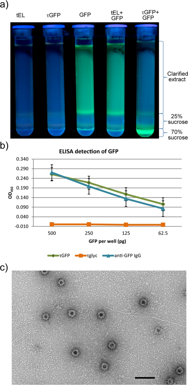 Plant-produced τGFP particles bind GFP. a) Ultracentrifuge tubes containing sucrose cushions photographed under UV light after ultracentrifugation. GFP-associated fluorescence remains in the supernatant when GFP-containing plant lysate is centrifuged alone or mixed with tEL-containing plant lysate; but migrates through the cushion when GFP-containing and τGFP-containing plant lysates are mixed. b) Detection of GFP by sandwich ELISA, after coating wells with τGFP (green), τglyc (orange) or an anti-GFP <t>polyclonal</t> IgG (blue) and adding GFP to the wells at four different concentrations after blocking. Detection is horseradish peroxidase—mediated ECL, and signal is net of background. Error bars are standard error. c) Electron micrograph of plant-produced τGFP particles in the presence of GFP, purified by sucrose cushion and size exclusion chromatography. Scale bar 100 nm.