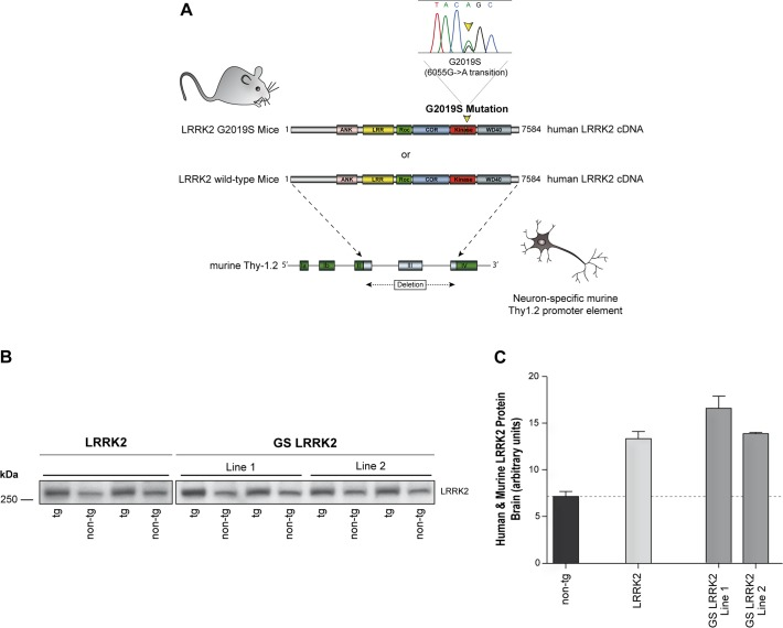 Generation of human wild type and G2019S mutant LRRK2 transgenic mice. A: Human full length wild type or G2019S mutant LRRK2 cDNA were cloned into the murine Thy-1.2 promoter element driving neuronal-specific transgene expression. B: Western blot analysis of LRRK2 protein expression in brain lysates from LRRK2, GS-LRRK2 line 1, GS-LRRK2 line 2 and non-tg littermates using MID antibody which recognizes human and murine LRRK2 protein. C: Densitometry quantification revealed approximately twice the amount of total LRRK2 protein in all transgenic lines compared to endogenous Lrrk2 levels in non-tg controls. Data represent means ± SEM; n = 2 for each transgenic line.