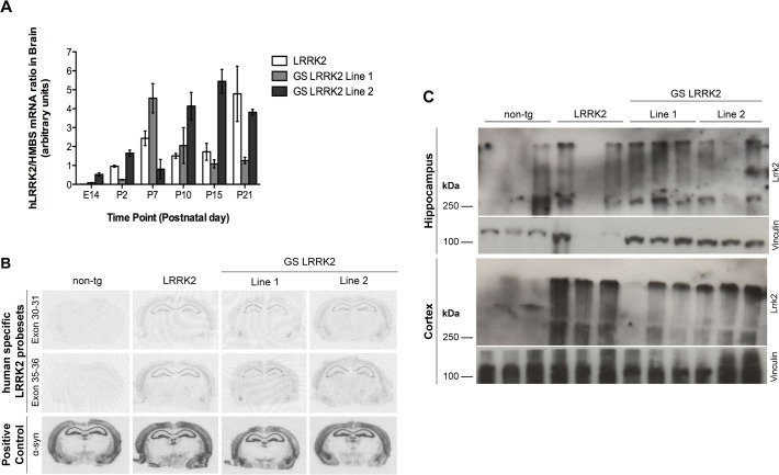 LRRK2 mRNA and protein expression in brain regions in the three transgenic mouse lines. A: RT-PCR semi-quantification of LRRK2 expression in whole brains at different embryonic and postnatal stages indicates robust transgene expression at postnatal day 2 (P2) in all three lines. Data represents means ± SEM; n = 3–5 animals per group. B: In-situ hybridization of coronal brain sections at the level of posterior hippocampus and midbrain with two human specific LRRK2 probes showed comparable transgene expression levels in hippocampus and cortex of 11-month-old LRRK2 and GS-LRRK2 lines 1 and 2. C: Western blot analysis of LRRK2 protein showed robust expression levels of LRRK2 in hippocampus (HC) and cortex (CTX) of 10-month-old animals with the human-specific LRRK2 antibody MJFF5; n = 3 animals per genotype.