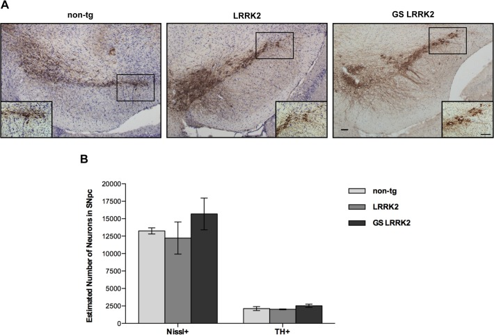 No neuronal loss or neurodegeneration was detected in SNpc in transgenic mice. A: Representative coronal section of midbrain sections from 12- to 13-month-old non-tg, LRRK2 and GS-LRRK2 (line 2) transgenic mice immunostained for TH. (Scale bars: 100μm). B: Cell counts of TH+ and Nissl+ neurons in SNpc from non-tg, LRRK2 and GS-LRRK2 transgenic mice. Data represent mean ± SEM; transgenic mice n = 2, non-tg mice n = 3. n . s = not significant, (one-way ANOVA, Tukey's post hoc analysis).