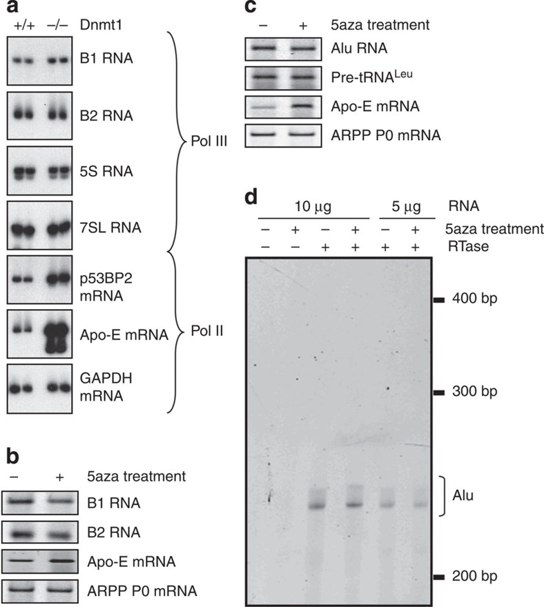 SINE expression is not stimulated by loss of DNA methylation. ( a ) Analysis by semiquantitative RT–PCR of expression levels of the indicated transcripts in matched Dnmt1 +/+ and Dnmt1 −/− fibroblasts. Duplicate samples are shown for both cell types. Apo-E and p53BP2 mRNAs provide controls that have been documented as being suppressed by DNA methylation. GAPDH mRNA provides a loading control. ( b ) Analysis by semiquantitative RT–PCR of expression levels of the indicated transcripts in mouse ES cells treated for 16 h with (+) or without (−) 5-azacytidine. Apo-E mRNA provides a control that has been documented as being inhibited by DNA methylation. ARPP P0 mRNA provides a loading control. ( c ) Analysis by semiquantitative RT–PCR of expression levels of the indicated transcripts in HeLa cells treated for 72 h with 5-azacytidine. Apo-E mRNA provides a control that has been documented as being inhibited by DNA methylation. ARPP P0 mRNA provides a loading control. ( d ) Analysis by primer extension of Alu transcripts in the RNA from Fig. 5c . Bracket indicates ~240 bp products that initiate at the principle pol III start site of Alu. Reverse transcriptase was omitted from the reactions in lanes 1 and 2. To confirm that the assay was not saturated, raising the amount of template RNA from 5 (lanes 5 and 6) to 10 μg (lanes 3 and 4) is shown to give a stronger signal. Alu, B1 and B2 RT–PCRs were performed with Alu, B1 and B2 consensus primers, respectively ( Supplementary Table 1 ).