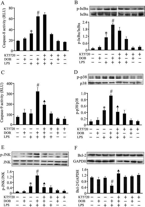 Effects of KT5720, a protein kinase A (PKA) inhibitor, on apoptosis-associated molecules in dobutamine (DOB) and lipolysaccharide (LPS)-treated cardiomyocytes. Adult mouse ventricular myocytes were pretreated with KT5720 (5 μM) or vehicle for 1 hour, and then exposed to DOB (0.02 μM), LPS (10 ng/mL), their combination, or vehicle for 12 hours. Caspase-8 (A) and caspase-9 (C) activities were detected 12 hours after DOB and LPS treatment (mean ± standard error of the mean (SEM); n = 8). IκBα (B), p38 mitogen-activated protein kinase (MAPK) (D) and c-jun NH2-terminal kinase (JNK) (E) phosphorylation, as well as Bcl-2 (F) protein expression in cardiomyocytes, were also examined 12 hours after DOB and LPS treatment using western blotting (mean ± SEM; n = 3). The results showed that KT5720 reversed the effects of dobutamine (DOB) on caspase-9 activation, Bcl-2 expression as well as p38 MAPK and JNK phosphorylation, but not on caspase-8 activation and IκBα phosphorylation in LPS-challenged cardiomyocytes. * P