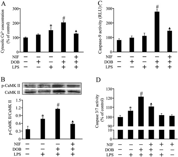 Effects of dobutamine (DOB), lipolysachharide (LPS) and nifedipine (NIF) on cytosolic Ca 2+ , calmodulin-dependent protein kinase II (CaMKII) and caspase activation in cardiomyocytes. Adult mouse ventricular myocytes were pretreated with NIF (1 μM) , a calcium channel blocker, or vehicle for 1 hour, and then exposed to DOB (0.02 μM), LPS (10 ng/mL), their combination or vehicle for 3, 12 or 24 hours. (A,B) DOB enhanced LPS-induced cytosolic Ca 2+ concentration elevation (mean ± standard error of the mean (SEM); n = 8) and calmodulin-dependent protein kinase II (CaMKII) phosphorylation (mean ± SEM; n = 4) 3 hours and 12 hours after LPS treatment, respectively, both of which were blocked by NIF pretreatment. (C,D) NIF partly abolished the enhancement effects of DOB on LPS-stimulated caspase-9 (12 hours after DOB and LPS treatment) and caspase 3/7 (24 hours after DOB and LPS treatment) activation in cardiomyocytes (mean ± SEM; n = 8). * P