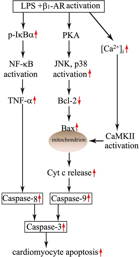 Proposed signaling mechanisms for lipopolysaccharide (LPS)-induced cardiomyocyte apoptosis enhanced by β 1 -AR activation. Cardiomyocyte β 1 -AR activation augments IκBα phosphorylation and TNF-α expression, activates protein kinase A (PKA), enhances calmodulin-dependent protein kinase II (CaMKII) phosphorylation, and subsequently promotes LPS-induced cardiomyocyte apoptosis. Cardiomyocyte PKA activation enhances p38 mitogen-activated protein kinase (MAPK) and c-jun NH2-terminal kinase (JNK) phosphorylation, reduces Bcl-2 protein levels, and in turn leads to an increase in cytochrome c release and caspase-9 activity during LPS challenge.