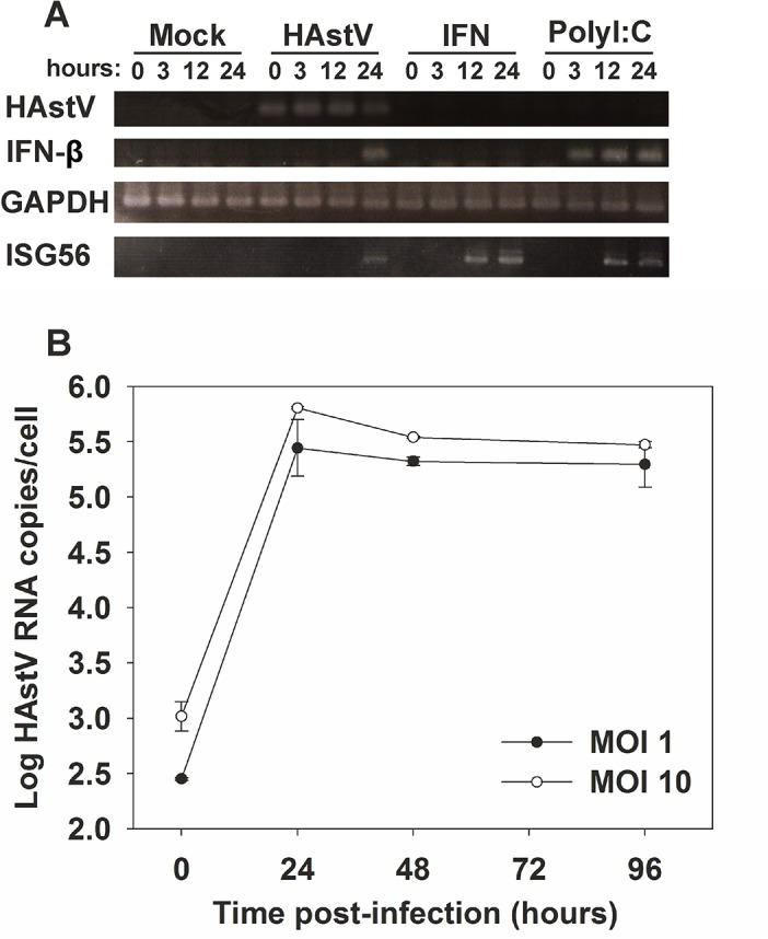 Induction of an IFN response is delayed during HAstV infection. (A) Temporal analysis of induction of IFN-β and ISG56 mRNA expression by in CaCo-2 cells infected with HAstV at a MOI of 1. Mock-infected cells, cells treated for 24 h with exogenous IFN at 1,000 U/ml, and polyI:C-transfected cells were used as controls. (B) HAstV growth curve on CaCo-2 cells at 2 different MOIs. Total HAstV RNA was measured by qRT-PCR at the indicated times post-infection. Data represent mean values of duplicate wells and error bars represent the standard error of the mean (SEM).