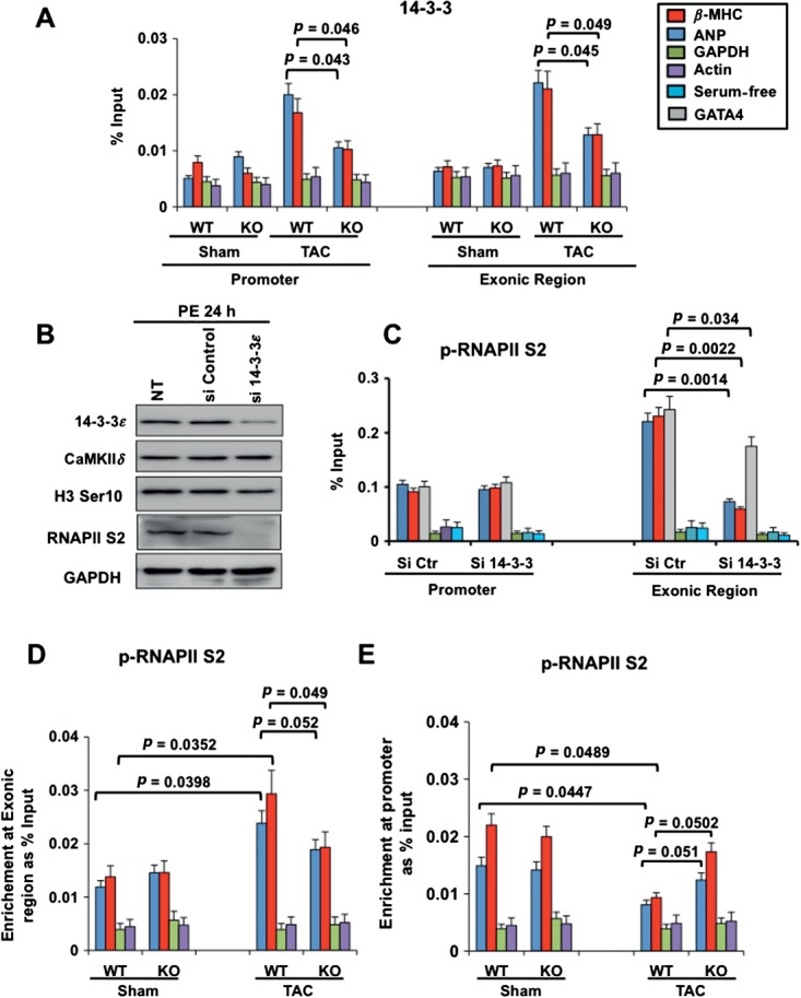 14–3–3 recruitment to chromatin is important for transcriptional elongation of GATA-4 and of fetal cardiac genes. (A) ChIP–qPCR performed from mouse heart tissues showing 14–3–3 binding at the ANP and β -MHC promoters in CaMKII δ -WT or CaMKII δ -KO mice 21 days after sham operation or TAC. qPCR reactions were also performed at GAPDH and α-actin promoters that are not responsive to pressure overload hypertrophy: results are expressed as percentage input over signals with IgG antibody and represent average ± SD ( n = 3); p values from Student's t test are indicated. (B) Immunoblotting of cardiomyocytes expressing reduced 14–3–3 (si14–3–3) or normal 14–3–3 (siControl). (C) ChIP–qPCR, showing p-RNAPII S2 at the promoter and internal exon of ANP , β-MHC , GATA-4 , GAPDH and actin in primary neonatal rat cardiomyocytes with siCt or si14–3–3 and stimulated with phenylephrine (PE) for 24 h. (D) ChIP–qPCR assay from mouse heart chromatin, showing p-RNAPII S2 at the ANP , β-MHC , actin and GAPDH exonic region in CaMKII δ -WT or CaMKII δ -KO animals, 21 days after sham operation or TAC. (E) ChIP–qPCR assay, showing p-RNAPII S2 at the ANP , β-MHC , actin and GAPDH promoter regions in CaMKII δ -WT or CaMKII δ -KO animals, 21 days after sham operation or TAC: results are expressed as percentage input over signals with IgG antibody, and represent average ± SD ( n = 3); p values from Student's t -test are indicated