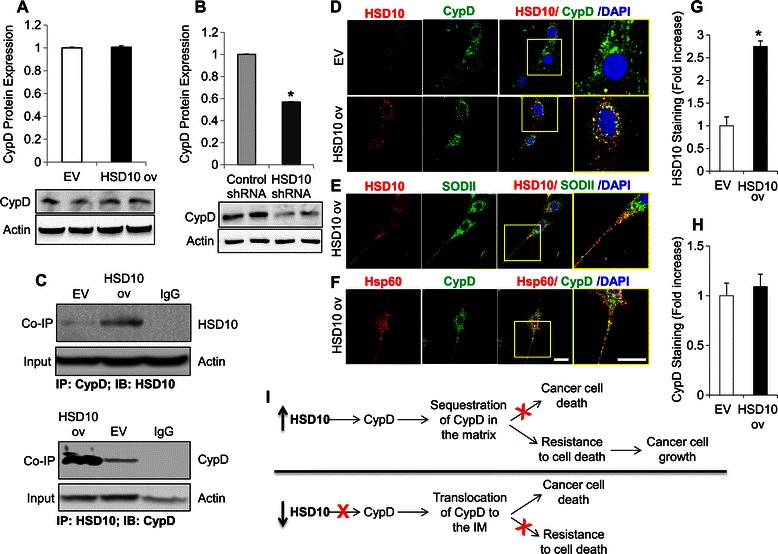 Effect of HSD10-modification on CypD and how it may influence cancer cell growth and death. A. EV and HSD10 ov whole cell lysates were analyzed for CypD protein expression using immunoblotting. β-actin was used as the loading control, and CypD was normalized to actin (n = 4). B. Control shRNA and HSD10 shRNA whole cell lysates were analyzed for CypD protein expression using immunoblotting. β-actin was used as the loading control, and CypD was normalized to actin (n = 4). C. EV and HSD10 ov whole cell lysates were analyzed for HSD10-CypD complexes using <t>co-immunoprecipitation.</t> β-actin was used as the loading control for the input. The immunoblots demonstrate an increased HSD10-CypD interaction in PC-12 cells overexpressing HSD10 compared to EV cells. D. Confocal microscopy demonstrating immunofluorescence staining of HSD10 alone (red), CypD alone (green), and these two antigens co-localized (yellow) in EV and HSD10 ov cells. E. Immunofluorescence staining of HSD10 alone (red), mitochondrial marker SODII alone (green), and these two antigens co-localized (yellow) in HSD10 ov cells. F. Immunofluorescence staining of CypD alone (green), mitochondrial marker Hsp60 alone (red), and these two antigens co-localized (yellow) in HSD10 ov cells. Scale bar in F : 20 μm. G-H. Quantification of HSD10 and CypD fluorescence densities (depicted in D ) displayed as fold increase (n = 4). Data presented as mean ± SE. *P