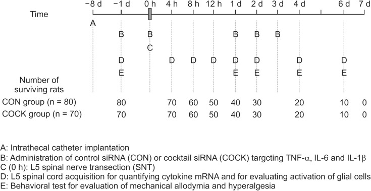 Schematic representation of the experimental procedure used in this study. siRNA: small interfering RNA, CON group: rats allocated to receive control siRNA with a scrambled nucleotide sequence, COCK group: rats allocated to receive the cocktail of siRNAs together targeting TNF-α, IL-6 and IL-1b. In the CON group, cytokine mRNA expressions (n = 7) and the activation of glial cells (n = 3) are determined 7 d after intrathecal catheter implantation without any administration of control siRNA or SNT operation. These data are used as baseline values of cytokine mRNA expression and the activation of glial cells.