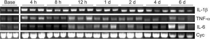 mRNA expression of TNF-α, IL-6, and IL-1β in rats undergoing L5 spinal nerve transection (SNT) (after the administration of control small interfering RNA (siRNA) (CON group). Tissue samples are acquired at 4, 8 and 12 h and 1, 2, 4 and 6 d (n = 3 per each time point) after L5 SNT, and mRNAs for the cytokines are isolated and quantified by reverse transcription polymerase chain reaction (RT-PCR). Cyclophilin is used as a house keeping gene. BASE: 7 d after intrathecal catheter implantation without administration of control siRNA (n = 3). Cyc: Cyclophilin.