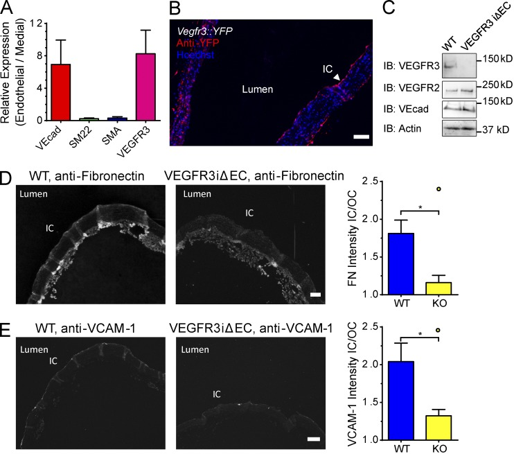 The role of VEGFR3 in the mouse aorta. (A) VEGFR3 expression in arterial endothelium. Total RNA isolated from the endothelial layer was analyzed by qPCR for the indicated genes. VEcad and VEGFR3 expression are represented as mean fold enrichment of the endothelial preparation over the remaining media ± SEM (error bars) from four aortas. The relative abundance of the medial layer markers SMA and SM22 indicate the purity of endothelial preparations. (B) VEGFR3 reporter. Aortas from adult VEGFR3-driven YFP gene reporter mice were sectioned longitudinally and stained for the YFP reporter and for nuclei using Hoechst staining. IC, inner curvature. Images are representative of five mice from several litters. (C) <t>VEGFR2</t> iΔEC. Endothelial-specific, inducible VEGFR3 knockout (iΔEC) and WT control mice were treated with tamoxifen, and aortas were removed after 1 wk. Tissue lysates were collected and immunoblotted with the indicated antibodies. IB, immunoblotting. (D and E) Inflammatory markers. VEGFR3 iΔEC and WT control mice were treated with tamoxifen and examined at 3 wk. Aortas were sectioned longitudinally and stained for fibronectin (D) or VCAM-1 (E). Images are representative of 6 mice from two independent experiments. Bars, 100 µm. The ratio of mean fluorescence intensity between the inner and outer curvature was then quantified. Values are means ± SEM (error bars). *, P