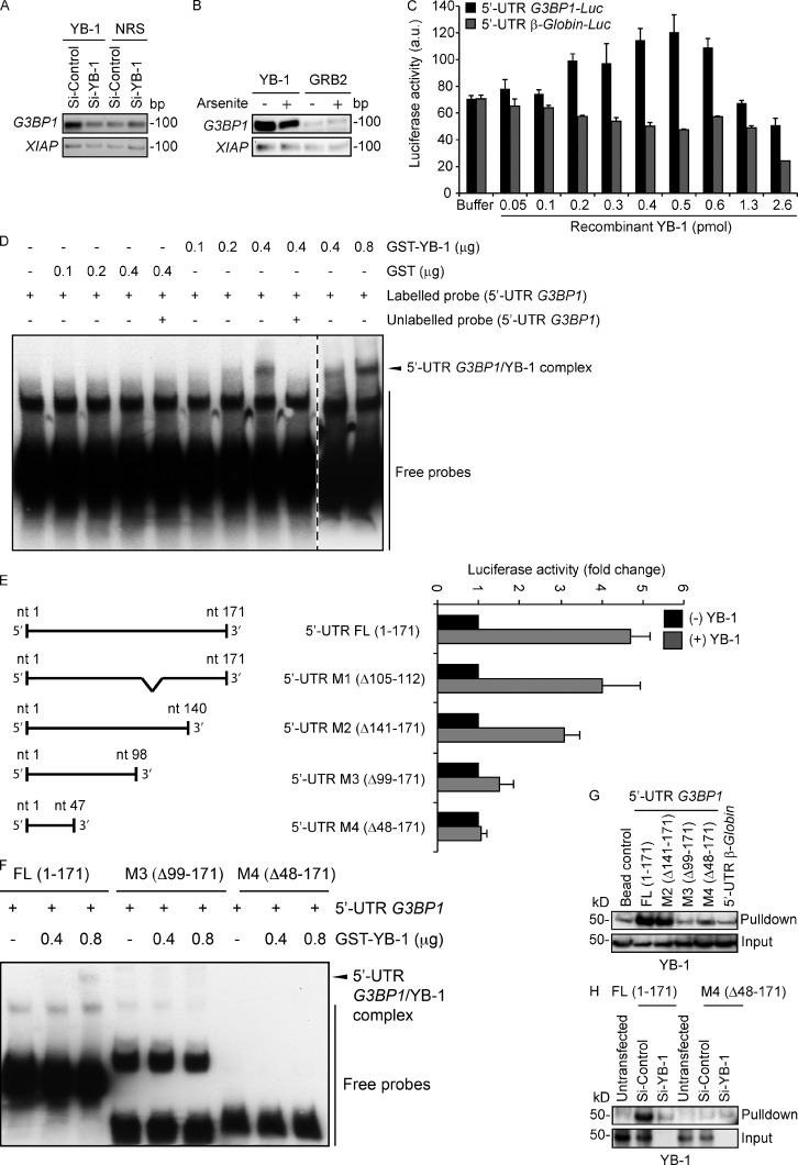 YB-1 regulates G3BP1 translation through the G3BP1 5′ UTR. (A) mRNA transcripts bound to YB-1 were riboimmunoprecipitated (RIPed) using anti–YB-1 antibodies or normal rabbit serum (NRS) from siControl and siYB-1 kd cell lysates. Captured mRNAs were reverse-transcribed and PCR amplified using primers specific for G3BP1 or XIAP as a control. (B) YB-1–bound mRNAs were RIPed using anti–YB-1 or control anti-GRB2 antibodies from polysomes prepared from vehicle alone and arsenite-treated U2OS cells, and subjected to semiquantitative RT-PCR using G3BP1 - and XIAP -specific primers. (C) Constructs containing 5′ UTR sequences of G3BP1 (black) or β-Globin (gray) fused in frame to Luciferase were used for in vitro coupled transcription translation. Increasing concentrations of recombinant YB-1 were added to the assay mixture, and luciferase activity was measured. Error bars indicate SD. (D) RNA EMSA analysis to measure direct binding of YB-1 to the full-length G3BP1 5′ UTR. Biotin-labeled full-length G3BP1 5′ UTR mixed with recombinant GST-YB-1 was subjected to EMSA. The arrowhead indicates a probe mobility shift in the presence of 0.4 µg of GST-YB-1, and enhanced intensity at 0.8 µg of GST-YB-1. A 200-fold molar excess concentration of unlabeled full-length G3BP1 5′ UTR was added to demonstrate specificity of 5′ UTR G3BP1 /YB-1 complex formation. As a control, recombinant GST was used in place of GST-YB-1. The broken line indicates that intervening lanes have been spliced out. (E) The full-length 5′ UTR G3BP1 (FL, 1–171) or deletion mutants (M1, Δ105–112; M2, Δ141–171; M3, Δ99–171; and M4, Δ141–171) were cloned in frame with Luciferase and used for in vitro coupled transcription/translation assays ±0.5 pmol YB-1 as described in C. Error bars indicate SD. (F) RNA EMSA showing that YB-1 binds to the full-length (FL, 1–171) G3BP1 5′ UTR but not M3 and M4 mutants. (G) Biotin end-tagged full length or the indicated deletion mutants of the G3BP1 5′ UTR were subjected to RNA affinity