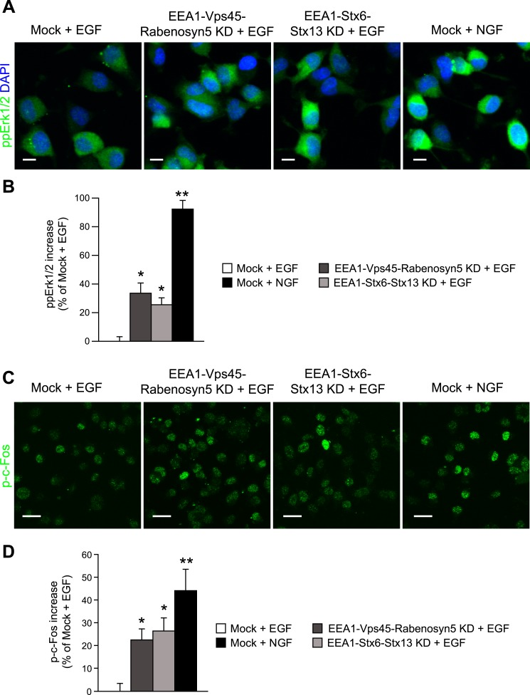 Redistribution of endosomal EGF is sufficient to increase MAPK activation in PC12 cells. ( A – D ) Analysis of MAPK activation in PC12 cells after partial protein depletion of either EEA1, Rabenosyn5, and Vps45 or EEA1, Syntaxin-6, and Syntaxin-13, or mock treatment and stimulation with 100 ng/ml EGF or 50 ng/ml NGF for 30 min ( A ) Representative images of Erk1/2 activation by immunofluorescence in PC12 cells. phospho-Erk1/2 is shown in green and nuclei are shown in blue. Scale bars, 10 μm. ( B ) Increase in phospho-Erk1/2 intensity compared to EGF-treated control cells. The total intensity was normalized by the fraction of the area covered by cells. ( C ) Representative images of c-Fos phosphorylation by immunofluorescence in PC12 cells. phospho-c-Fos is shown in green. Scale bar, 25 μm. ( D ) Increase in nuclear phospho-c-Fos intensity compared to EGF-treated control cells. In all cases, data show mean ± SEM. For each parameter, pair-wise comparisons were done against EGF-stimulated mock-treated cells. *p