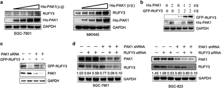 <t>PAK1</t> positively regulates RUFY3 expression. ( a and b ) The protein level of RUFY3 was increased by the ectopic PAK1 expression level enhancing. ( a ) A dose-dependent increase of PAK1 plasmids were transfected into SGC-7901 cells (left panel) and MKN45 cells (right panel). Western blot assays were performed to detect the protein level of endogenous RUFY3. ( b )The GFP-RUFY3 and the increasing amounts of PAK1 expression vector were transfected into SGC-7901 cells, after 24 h of transfection, the protein levels of His-PAK1 and GFP-RUFY3 were measured by western blot. ( c and d ) Inhibition of PAK1 expression can also decrease RUFY3 expression. ( c ) The SGC-7901 cells expressing GFP-RUFY3 were treated with PAK1-siRNA, and the protein levels of PAK1 and GFP-RUFY3 were measured by western blot. ( d ) The stable expressing PAK1-shRNA lentivirus SGC-7901 cells (left panel) and BGC-823 (right panel) cells were treated with two different shRNAs (nos. 1 and 2) targeting RUFY3, and the protein level of endogenous PAK1 and RUFY3 were measured by western blot