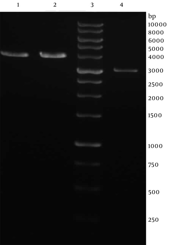 Restriction Enzyme Analysis of Recombinant <t>pVAX1-SAG1</t> Line 1 and 2, the recombinant pVAX-SAG1 plasmid digested by NheI; Line 3, 1 kb DNA ladder; Line 4, the pVAX vector digested by NheI.