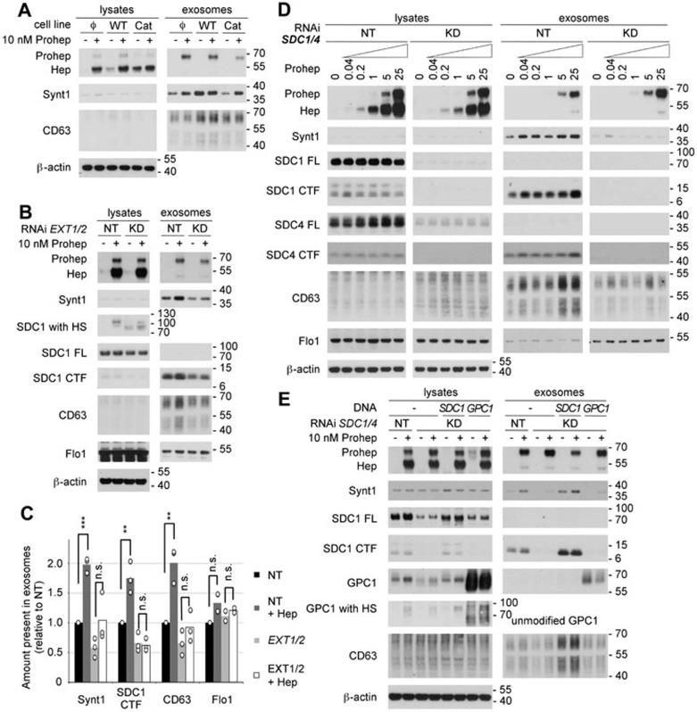 The effect of heparanase on exosome production depends on the modification of the heparan sulfate (HS) on syndecans. (A) The role of heparanase enzymatic activity on exosome production was investigated by comparing MCF-7 cells stably expressing wild-type heparanase (WT), catalytically dead heparanase (Cat) or empty vector (Φ) in western blot, in the absence (−) or presence (+) of 10 nM exogenously added proheparanase. (B) The importance of HS was analyzed by treating MCF-7 cells with RNAi targeting EXT1 and EXT2 (KD). Non-targeting RNAi (NT) was used as a control. Cells were challenged with 10 nM proheparanase (+) or left untreated (−). Heparanase activity, reducing the HS on syndecan, was apparent from the migration of chondroitinase ABC-treated syndecan-1 present in cell lysates (SDC1 with HS). EXT1 and EXT2 knockdown leads to the appearance of syndecan-1 that is not substituted with HS (a band running slightly > 70 kDa, after chondroitinase ABC digestion only), not detectable in cells treated with non-targeting RNAi, where all syndecan is substituted with HS (and is larger than SDC FL). A small amount of the syndecan-1 still carried HS and was affected by heparanase addition (yielding a band slightly > 100 kDa, after chondroitinase ABC digestion only), indicating an incomplete knockdown of EXT1 and EXT2. Western blots are representative of three independent experiments. (C) Quantification of the effect of EXT1 and EXT2 knockdown. Histograms representing the exosomal levels of syntenin-1, syndecan-1 CTF, CD63 and flotillin-1 in the different conditions tested (non-targeting RNAi, black bars; non-targeting RNAi and heparanase, dark gray bars; EXT1 and EXT2 RNAi, light gray bars; EXT1 and EXT2 RNAi and heparanase, white bars). Values are relative to the exosomal levels measured in cells treated with non-targeting RNAi and in the absence of exogenously added proheparanase. Bar heights represent mean values, calculated from three independent experiments. Individual da