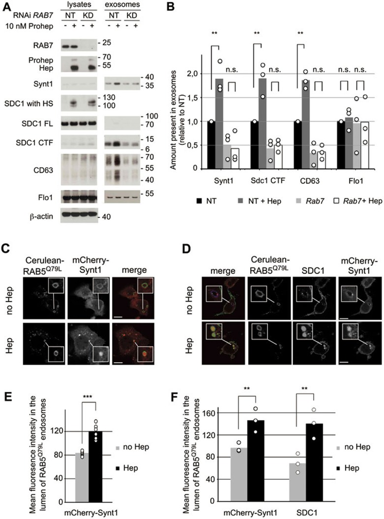Heparanase influences the biogenesis of vesicles of endosomal origin, enhancing intraluminal budding. (A) To investigate whether the extracellular vesicles affected by heparanase were of endosomal origin, RAB7 was knocked down ( RAB7 RNAi) in MCF-7 cells. Non-targeting RNAi (−) served as a control. Cells were left untreated (−) or treated with proheparanase (10 nM). In both experiments, heparanase activity was evaluated using the migration pattern of chondroitinase ABC-, but not <t>heparitinase-treated</t> syndecan-1 present in cell lysates (SDC1 with HS). Molecular weight markers (in kDa) are indicated on the right of each blot. Western blots are representative of three independent experiments. (B) Quantification of the effect of RAB7 knockdown. Histograms representing the exosomal levels of syntenin-1, syndecan-1 CTF and CD63 in the different conditions tested (non-targeting RNAi, black bars; non-targeting RNAi with heparanase, dark gray bars; RAB7 knockdown, light gray bars; RAB7 knockdown with heparanase, white bars). Values are relative to the levels (intensities of the signals) measured in exosomes derived from cells treated with non-targeting RNAi in the absence of proheparanase. Bar heights represent mean values, calculated from three independent experiments. Individual data points are shown as white dots on top of the corresponding bars. ** P