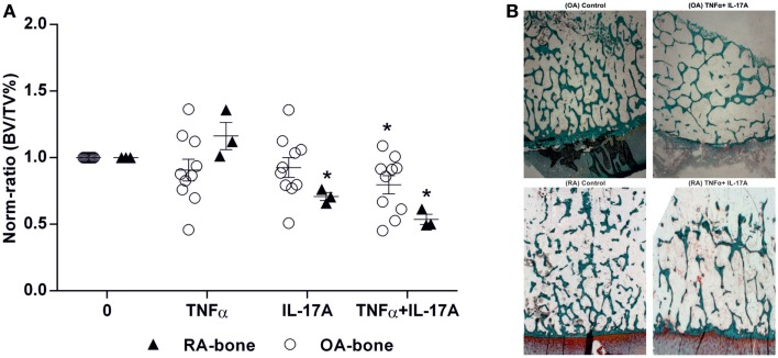 Effects of IL-17A and/or TNF-α on BV/TV ratio . Bone samples were cultured for 7 days in six well-plates, in the presence or absence of IL-17A (50 ng/ml) and TNF-α (1 ng/ml) or both, then bone samples were used for histomorphometric analysis. Bone volume over tissue volume (BV/TV) was measured with an automatic image analyzer at low power field. (A) Results were analyzed using the Wilcoxon test. * p