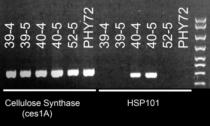 Genomic PCR analysis of cellulose synthase and AtHSP101 in segregating transgenic cotton lines and a commercial check (Phytogen 72).