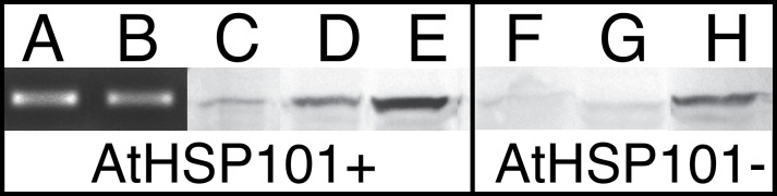 Photographs of RT-PCR and Western Blot analysis showing the expression of AtHSP101 and presence of HSP101 proteins in transgenic cotton lines. RT-PCR products from pollen (A) and leaf (B) tissues of transgenic line 40 plants grown in 31°C/27°C greenhouse; Western blot analysis of HSP101 for: mature pollen of transgenic line 40 (C) and null line 52 (F, AtHSP101 minus) plants grown in a greenhouse set to 31°C/27°C day/night; leaf tissues of transgenic line 40 (D) and null line 52 (G) plants grown in a greenhouse set to 31C°/27°C day/night; leaf tissues of transgenic line 40 (E) and null line 52 (H) plants grown in a hot greenhouse set to 43°C/28°C day/night temperatures.