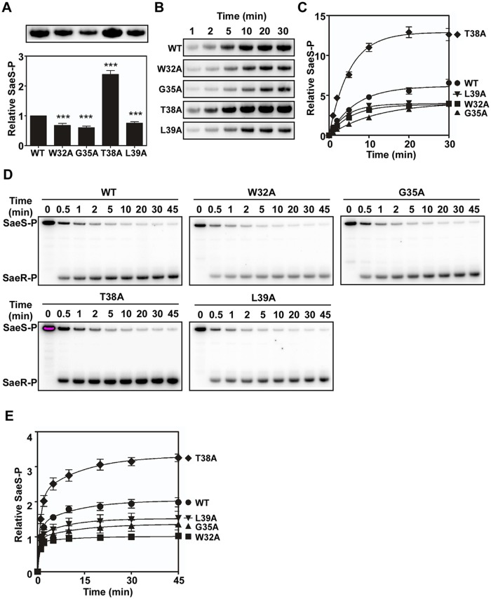 Alanine substitutions in the linker peptide alter the kinase and phosphotransferase activities of SaeS. (A) The autokinase activity of wild type (WT) and select linker peptide mutants of SaeS. The purified MBP-SaeS proteins (5 μM) were incubated with [γ- 32 P] ATP at RT for 20 min. The autoradiograph of the phosphorylated MBP-SaeS (upper panel) is shown with its quantification results in a bar graph (lower panel). (B) Assessment of the autokinase activity of wild type (WT) and select linker peptide mutants for 30 min. The wild-type or the linker peptide mutant MBP-SaeS proteins (5 μM) were mixed with [γ- 32 P] ATP and, at the indicated times, the level of phosphorylated MBP-SaeS was analyzed by phosphor imager analysis. (C) Quantitation of the autophosphorylation assays shown in (B). The plot depicts the levels of MBP-SaeS-P relative to the wild-type MBP-SaeS-P at time 1 min as a function of time. (D) Phosphotransferase activity of the wild type (WT) and select linker peptide mutants of SaeS. Phosphorylated MBP-SaeS (5 μM) was mixed with SaeR (10 μM). At the times indicated, the reaction was stopped and the phosphorylated proteins were analyzed by SDS-PAGE and phosphor imager analysis. (E) Quantification of the phosphotransfer assays shown in (D). Each datum on the plot depicts the level of SaeR-P relative to that of the wild-type SaeS at the initial time (1 min). All data correspond to the mean values of three independent experiments, and error bars show standard deviation. For statistical analyses, unpaired two-tailed student's t-test was used. ***, p
