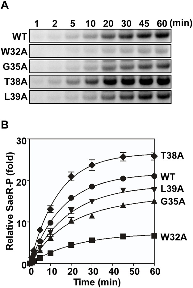 Membrane vesicles harboring the linker peptide mutant SaeS exhibit altered phosphotransferase activity. (A) Levels of SaeR-P following incubation of SaeR, [γ- 32 P] ATP, and membrane vesicles (300 μg) harboring the wild-type or the various linker mutant SaeS proteins. (B) Quantitation of the phosphotransfer assay shown in (A). Each datum of the plot depicts the level of SaeR-P relative to that by the wild-type SaeS at the initial time (1 min). Data correspond to the mean values of three independent experiments, and error bars show standard deviation.