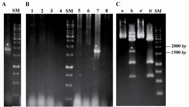 Cloning and sub-cloning of CD19 cDNA. A) Amplification of specific band for human CD19 cDNA using Pfu DNA polymerase; B) Colony-PCR reaction on eight white colonies (1-8) after blue/ white selection. C) Excision of 1701 bp band for human CD19 cDNA after double digestion of the construct using KpnI and HindIII restriction enzymes. Lanes (a) and (a'): undigested pGEMT-easy/CD19 construct, Lanes (b) partial and complete digestion by KpnI and Hind III, respectively and (b'): complete digestion by both KpnI and HindIII. SM: DNA size marker ( bp ). Asterisks (*) point the desired band.