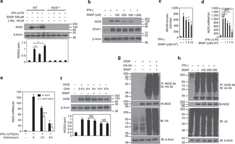 NO suppresses iNOS expression in macrophages. ( a ) BMDMs from WT and iNOS −/− mice were stimulated with IFN-γ (10 ng ml −1 ) and LPS (200 ng ml −1 ) in the presence of SNAP (500 μM) or L-NIL (40 μM) overnight. The cell lysates were prepared and western blotting was performed for the analysis of iNOS protein expression. β-Actin expression was used as a control. Each bar represents mean±s.d. from three independent experiments, one-way ANOVA with a Bonferroni correction, * P