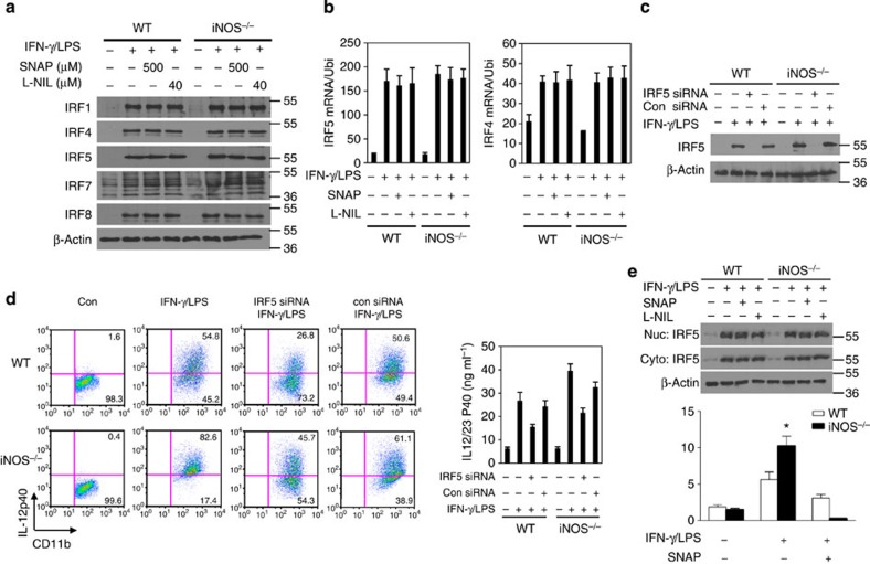 NO suppresses IRF5 DNA binding activity. ( a ) BMDMs from WT and iNOS −/− mice were stimulated with IFN-γ (10 ng ml −1 ) and LPS (200 ng ml −1 ) in the presence of SNAP (500 μM) or L-NIL (40 μM) overnight. The cell lysates were prepared and western blotting was performed for the analysis of protein expression of indicated genes. ( b ) BMDMs were activated with IFN-γ (10 ng ml −1 ) and LPS (200 ng ml −1 ) in the presence of SNAP (500 μM) for 6 h and total cellular RNA was extracted. qPCR was performed for the analysis of mRNA expression of IRF5 and IRF4. ( c ) BMDMs were transfected with IRF5 siRNA or control siRNA, and the cells were then stimulated with IFN-γ (10 ng ml −1 ) and LPS (200 ng ml −1 ) overnight. The cell lysates were prepared and western blotting was performed for the analysis of IRF5 protein expression. ( d ) BMDMs were transfected with IRF5 siRNA or control siRNA, and the cells were then stimulated with IFN-γ (10 ng ml −1 ) and LPS (200 ng ml −1 ) overnight. The cells were stained for intracellular IL-12 and analysed by flow cytometry. Representative FACS dot plots gated on CD11b + cells, and the percentage of IL-12-producing CD11b + cells is shown. IL-12/23 p40 production was determined by ELISA. Each bar represents mean±s.d. from three independent experiments. ( e ) BMDMs from WT and iNOS −/− mice were stimulated with IFN-γ (10 ng ml −1 ) and LPS (200 ng ml −1 ) in the presence of SNAP (500 μM) or L-NIL (40 μM) overnight. The cytosolic fraction and nuclear fraction of protein was prepared, and western blotting was performed for the analysis of IRF5 protein expression (upper panel). BMDMs from WT and iNOS −/− mice were stimulated with IFN-γ (10 ng ml −1 ) and LPS (200 ng ml −1 ) in the presence of SNAP (500 μM) or L-NIL overnight, followed by ChIP assay. Three micrograms of an anti-IRF5 antibody or isotype-matched IgG as control antibody were used in the immunoprecipitation step. PCR was used to quantify the amount of precipitated DNA with primers f