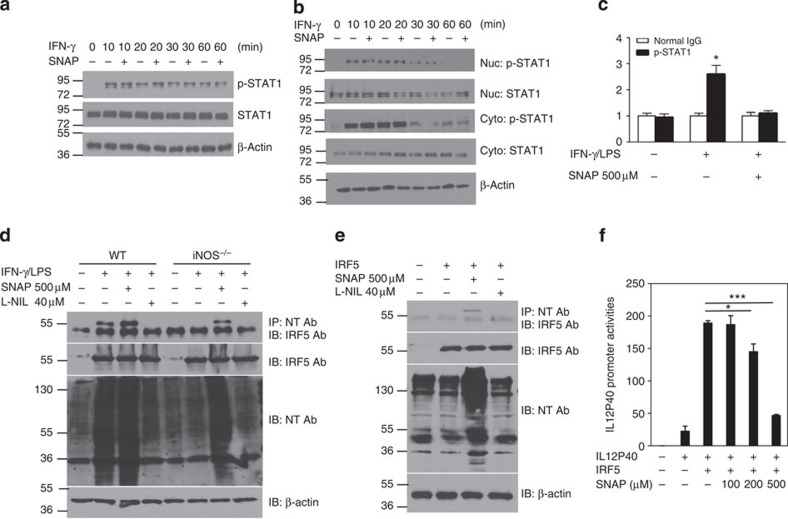 NO induces nitration of tyrosine residues of IRF5 protein in macrophages. ( a ) RAW264.7 macrophages were pretreated with SNAP (500 μM) for 30 min and the cells were then activated with IFN-γ (10 ng ml −1 ) for various time intervals (10, 20, 30 and 60 min). Western blotting was performed for the analysis of STAT1 phosphorylation. β-Actin was used as a control. ( b ) RAW264.7 macrophages were pretreated with SNAP (500 μM) for 30 min, and the cells were then activated with IFN-γ (10 ng ml −1 ) for various time intervals (10, 20, 30 and 60 min). The cytosolic fraction and nuclear fraction of protein was prepared, and western blotting was performed for the analysis of phosphorylated STAT1 and STAT1 protein. ( c ) BMDMs from WT mice were stimulated with IFN-γ (10 ng ml −1 ) and LPS (200 ng ml −1 ) in the presence of SNAP (500 μM) for 6 h, followed by ChIP assay. Three micrograms of an anti- phosphorylated STAT1 antibody or isotype-matched IgG as control antibody was used in the immunoprecipitation step. PCR was used to quantify the amount of precipitated DNA with primers flanking the STAT1-binding site of the iNOS promoter region. Each bar represents mean±s.d. from three independent experiments, unpaired Student's t -test, * P