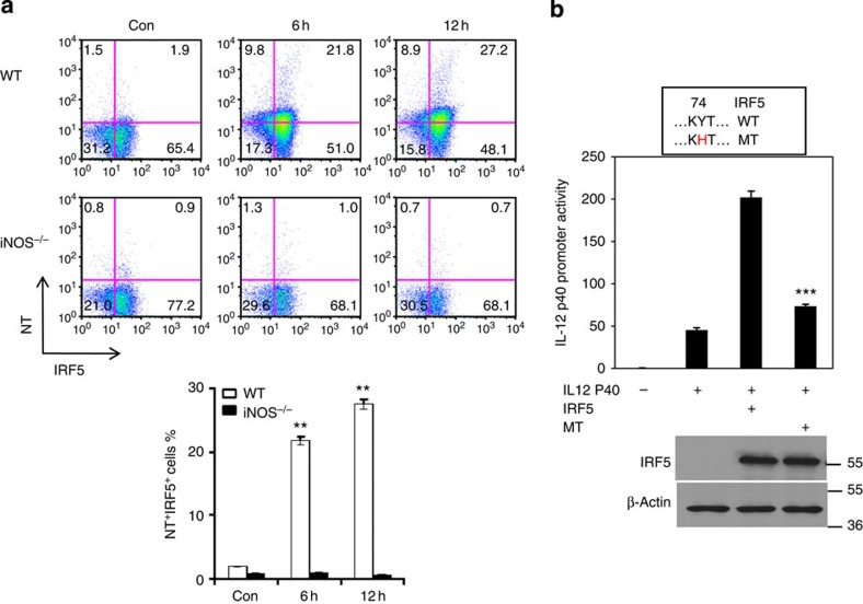 NO induces nitration of tyrosine residues of IRF5 protein in macrophages. ( a ) WT or iNOS −/− mice were injected (i.p.) with LPS (200 μg/mouse) for 6 or 12 h. Mice were then killed and spleen cells were prepared. The cells were stained for IRF5 and nitrotyrosine and analysed by flow cytometry. Representative FACS dot plots gated on CD11b + cells, and the percentages of IRF5 and nitrotyrosine-positive CD11b + cells are shown. Each bar represents mean±s.d. from three independent experiments, unpaired Student's t -test, ** P