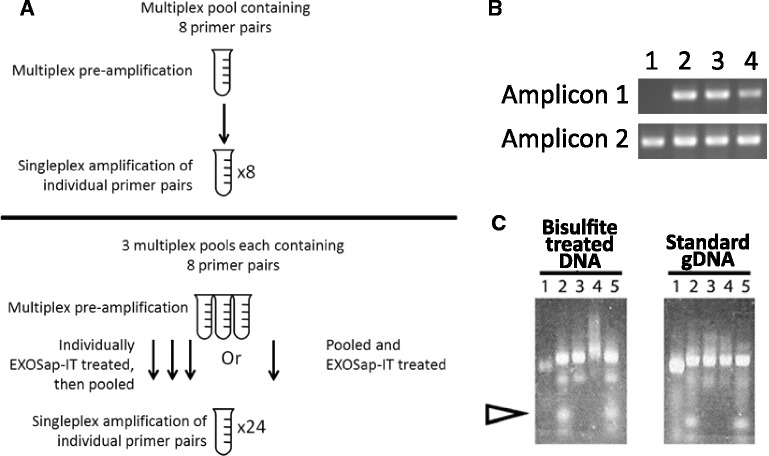 Pre-amplification multiplex results for bisulfite DNA samples. (A) A flow diagram outlining the different conditions examined with respect to multiplexability, pooling, and exonuclease treatment. (B) The results of different conditions after 15 cycles of multiplex pre-amplification. Forty-eight primer pairs were assessed for the multiplexability in a pre-amplification reaction. All samples had the same amount of input DNA. Lane 1 : A positive control involving <t>singleplex</t> PCR reaction of an individual primer pair, with the same DNA template amount as used in the pre-amplification. Lane 2 : Eight-plex pre-amplification reaction and ExoSAP-IT treatment of individual pre-amp reactions, followed by pooling and singleplex amplification (as illustrated in the upper panel of A). Lane 3 : Results of three different 8-plex reactions pooled together first then ExoSAP-IT treatment of the combined pool, for a total of 24 amplicons in the ExoSAP-IT treatment, followed by singleplex amplification of a primer pair (as illustrated in the lower panel of A). Lane 4 : Twenty-four-plex pre-amplification results. (C) The effect of ExoSAP-IT treatment on bisulfite libraries, as compared to gDNA amplicons. The arrow indicates where primers migrate on the gel. Lane 1 : Pool of 48 amplicons prior to barcoding PCR. Lane 2 : Sample library after barcoding PCR. Primers are visible at the bottom of the lane. Lane 3 : Sample library after ExoSAP-IT treatment at 37°C. Lane 4 : Sample library after ExoSAP-IT treatment at 37°C, followed by heat inactivation of the ExoSAP-IT at 80°C. Note the higher molecular weight smear in the methylation library, which is not observed with gDNA amplicons. Lane 5 : Sample library cycled at 37°C, followed by 80°C heat denaturation step, but with no ExoSAP-IT.