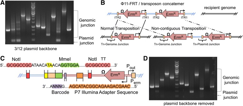 Reduction of transposon-plasmid junction NGS reads with flanking Not I restriction sites. (A) Inverse PCR was used to amplify the ITR2 transposon junctions for twelve colonies as has been described [ 39 ]. Three out of twelve of these colonies also contained transposon-plasmid junctions (~160 bp DNA band). This ratio increased to seven out of twelve when the canonical ITR sequence was altered to incorporate a MmeI recognition site (Additional file 1 : Figure S2). Results are representative of multiple independent experimental replicates. (B) The putative mechanism for transposase catalyzed integration of transposon-plasmid junctions may involve engagement of non-contiguous ITR repeats (dashed lines), resulting in chromosomally integrated transposon multimers. In contrast, when both ITR sequences are optimal, contiguous ITRs are most frequently mobilized (solid lines). (C) Colors are used to identify the positions of the sequences in this drawing. To selectively remove transposon-plasmid junctions, we introduced two Not I sites into the transposon construct that flanked the MmeI modified ITR2. In addition, we included a P7 Illumina sequencing primer site with a unique 3-bp DNA barcode to identify the P out promoter that faces outward from ITR1 during NGS sequencing. (D) After first digesting gDNA with Not I, the transposon-plasmid junction content was substantially reduced in comparison to Figure 3A.