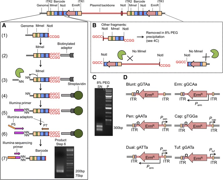Protocol for the preparation of a high quality transposon DNA library for NGS. (A) (1) Genomic DNA is isolated and digested with Not I. High molecular weight DNA is selectively precipitated using an 8%PEG + NaCl solution, and transposon-plasmid junctions (106 bp) are removed in the supernatant. A biotinylated dsDNA adapter with Not I overhang is ligated (2) before digestion with Mme I, which cuts non-specifically 20 bp from its recognition site within ITR2 into the genome to liberate biotinylated-transposon-genome junctions as short DNA fragments (114 bp). (3). Biotinylated fragments are bound to streptavidin beads (4), and an Illumina sequencing primer adapter containing an indexing barcode and MmeI compatible ends is ligated (5). Primers annealing to the P7 site and the Illumina sequencing primer adapter sequence (with a P5 site overhang) are used to PCR amplify the transposon-genome junctions (6), agarose gel purified, and submitted for Illumina sequencing (7). NGS reads capture both the 16-bp of flanking genomic DNA as well as the transposon donor specific barcode located between the P7 and ITR2. (B) Fragments arising from transposon-plasmid junctions are removed by size selective PEG-NaCl precipitation, while the remaining fragments lack both P7 annealing sites and Mme I sites for ligation of the Illumina sequencing primer adapter. These fragments are therefore not amplified in step (6) of 4A. (C) By performing the size-selective precipitation on a 1 kb DNA ladder, we show that small 300 bp fragments of DNA are retained in the solution (SN), while larger DNA is precipitated (P). (D) Six transposon donor constructs were multiplexed and designed to attenuate expression of genes proximal to the insertion site according to the regulatory elements located at the ends of the transposon backbone. Each donor can be identified from NGS reads by the unique 3 bp barcode.