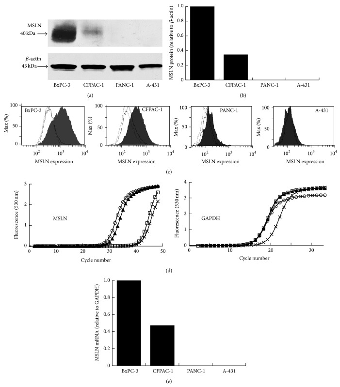 Analysis of MSLN protein expression in cancer cell lines by Western blot (a and b) and by flow cytometry using 11-25 mAb (b). β -actin served as a loading control. Expression of MSLN mRNA in cultured BxPC-3 (open circles), CFPAC-1 (closed triangles), PANC-1 (open squares), and A-431 (x-marks) cells (d and e).
