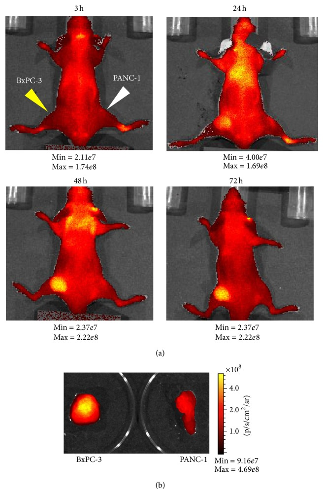 In vivo and ex vivo NIR optical imaging by Alexa Fluor 750-labeled 11-25 mAb. (a) Alexa Fluor 750-labeled 11-25 mAb (90 μ g/mouse) was administered to mice bearing BxPC-3 and PANC-1 intravenously. Alexa Fluor 750 fluorescence was then monitored by IVIS-200 imaging system 24, 48, and 72 hours after the injection. The minimum and maximum values of the photon gage are shown under each photograph. (b) 24 hours after administration of Alexa Fluor 750-labeled 11-25 mAb, tumors were dissected from mice and ex vivo fluorescence images were taken.