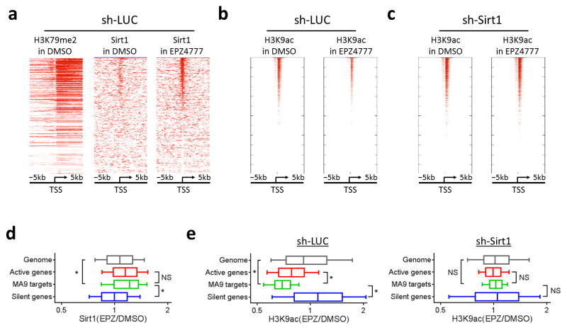 Sirt1 localizes to active genes and mediates deacetylation of H3K9 in response to Dot1L inhibition. ( a–c ) Heatmaps showing ChIP-seq signal of ( a ) H3K79me2 and Sirt1, and ( b,c ) H3K9ac at TSS ± 5 kb regions for all genes in MLL-AF9 leukemic cells transduced with ( a,b ) sh- LUC or ( c ) sh- Sirt1 . Genes are ranked according to ChIP-seq signal of Sirt1 in EPZ4777 from high (top) to low (bottom). ( d,e ) Boxplots showing changes in ChIP-seq signal of ( d ) Sirt1 and ( e ) H3K9ac at TSS ± 2 kb regions of genome (gray; 18,420 genes), active genes (red; 4,560 genes), MLL-AF9 targets (green; 129 genes) and silent genes (blue; 4,560 genes) in mouse MLL-AF9 leukemic cells. Cells were cultured in DMSO or EPZ4777 for 6 days. Data represent mean ± s.d. NS, not significant; * P