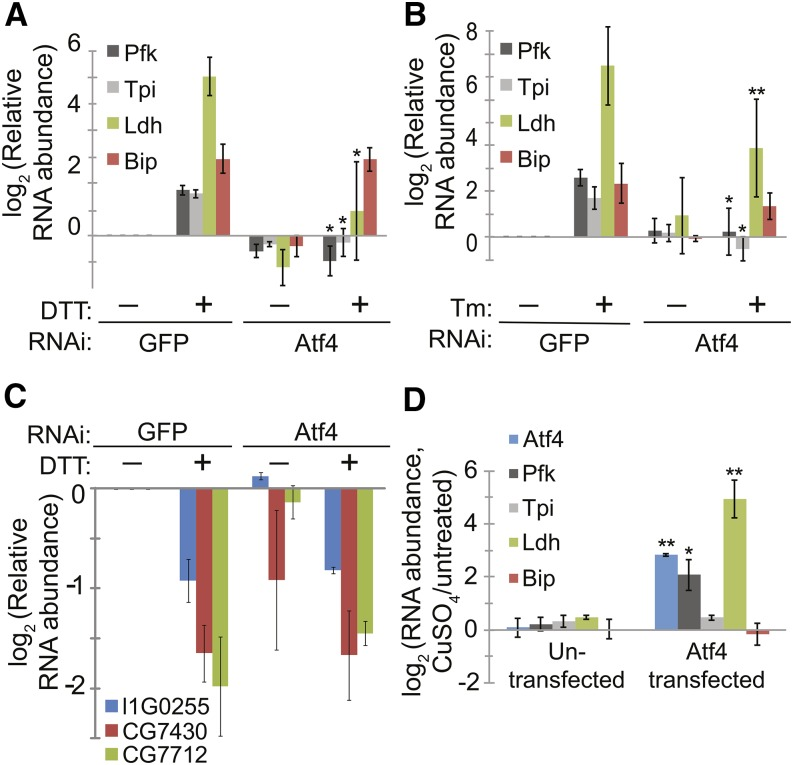 Atf4 is necessary and sufficient for up-regulation of glycolytic genes and Ldh. (A−B) We incubated S2 cells with dsRNA targeting either GFP (as a negative control) or Atf4, allowed cells to recover, and incubated with and without either DTT (2 mM, 6 hr, A) or Tm (5 μg/mL, 16 hr, B). We then measured the relative RNA levels for the indicated genes by qPCR. * P