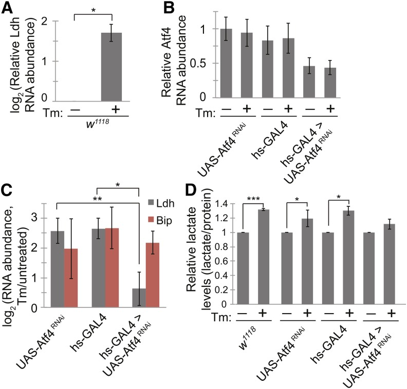 Flies display metabolic changes during ER stress in vivo . (A) We fed male D. melanogaster w1118 with Tm (10 μg/mL, 23 hr) to induce ER stress and measured Ldh mRNA levels by qPCR. (B−C) We crossed UAS-Atf4 RNAi to hs-GAL4 to obtain Atf4 knockdown flies. We stressed each strain of flies as in (A) and compared the RNA levels of Atf4 (B), Ldh , and BiP (C) by qPCR. (D) We measured lactate levels in extracts from D. melanogaster fed with or without Tm as in A. Lactate concentrations were normalized using total protein concentrations. For all panels: data are presented as means ± SDs of 3 independent experiments. * P