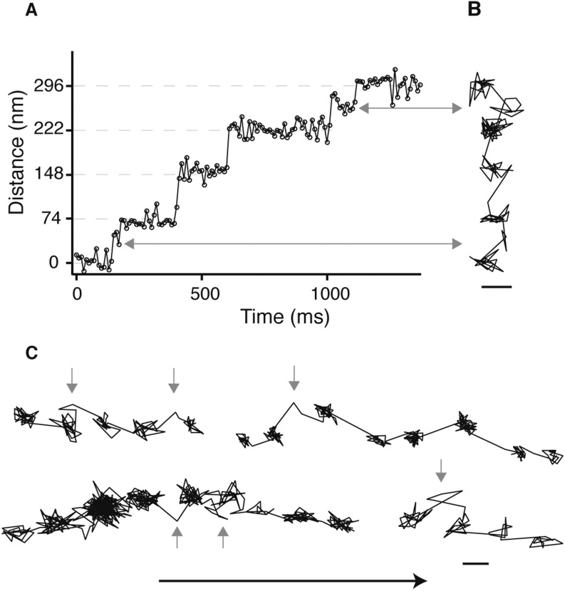 Detection of the transient state with a molecular sized fluorescent label. ( A ) Representative distance time series of a myosin 5 molecule labelled with an atto-647N/streptavidin conjugate at the N-terminus and tracked using single molecule total internal fluorescence microscopy. ( B ) Corresponding 2D trajectory. ( C ) Additional traces exhibiting the transient state marked by arrows. ATP concentration: 10 μM. Scale bar: 50 nm. Imaging speed: 100 frames/s. DOI: http://dx.doi.org/10.7554/eLife.05413.005