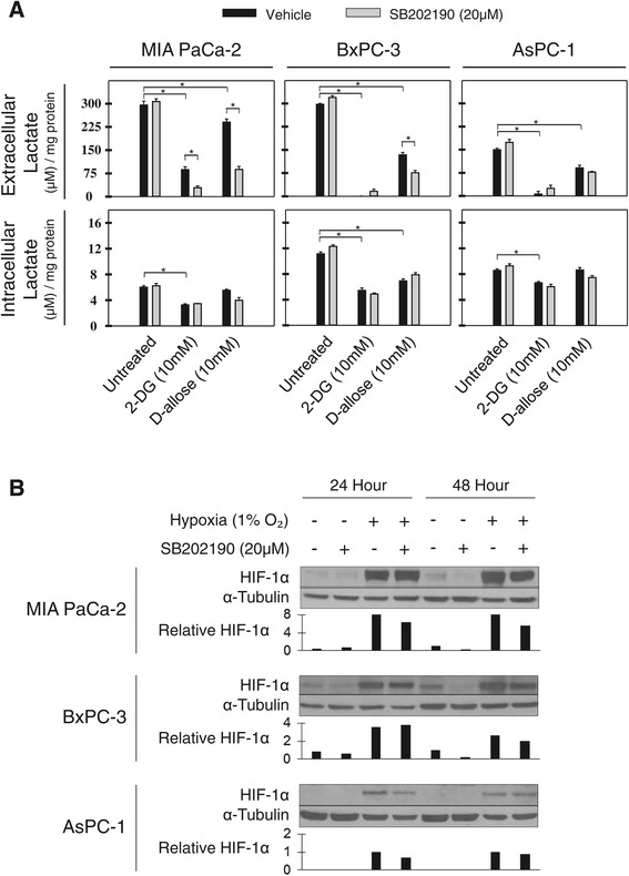 Lactate production and HIF-1α expression in pancreatic cancer cell lines. A) . Effect of 2-DG and D-allose alone or in combination with SB202190 following 24 hours of treatment on lactate production measured in cell culture media or in cells. Values are normalized to total cell protein. One representative experiment is shown, n = 3. *p
