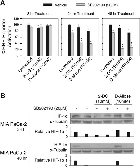 HIF-1α transcriptional activity is modulated by SB202190. A) . MIA PaCa-2 cells were stably transfected with a HRE-luciferase reporter and treated for 3 24, and 48 hours with 2-DG or D-allose alone and in combination with SB202190. Luciferase activity was normalized to total protein. One representative experiment is shown, n = 3. *Indicates a p