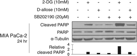 SB202190 enhances cleavage of PARP when combined with glucose analogs. Western blot analysis of whole cell lysates from cells treated for 24 hours with 2-DG or D-allose alone or in combination with SB202190. Lysates were probed for cleaved and total PARP. Tubulin served as a loading control for protein. Cleaved PARP band density was quantified using ImageJ software with normalization to α-Tubulin. One representative experiment is shown, n = 3.