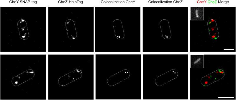 Subcellular localization of chemotaxis proteins CheY and CheZ. Two representative S . Typhimurium cells co-expressing fusions of CheY and CheZ to Halo- and SNAP-Tag from Expression clone pWRG602 are shown. Fusion proteins were labeled with Atto655-coupled HaloTag ligand and the SNAP-tag ligand TMR-Star. Subcellular localization of protein clusters was visualized using super-resolution microscopy (dSTORM). Colocalization of the labeled fusion proteins was calculated in separate images using the Matlab-based software Slimfast with a distance threshold of 100 nm. The insets show autofluorescence of the bacteria after excitation at 488 nm which was used to determine their shapes (dashed white lines). Scale bars = 1 μm.