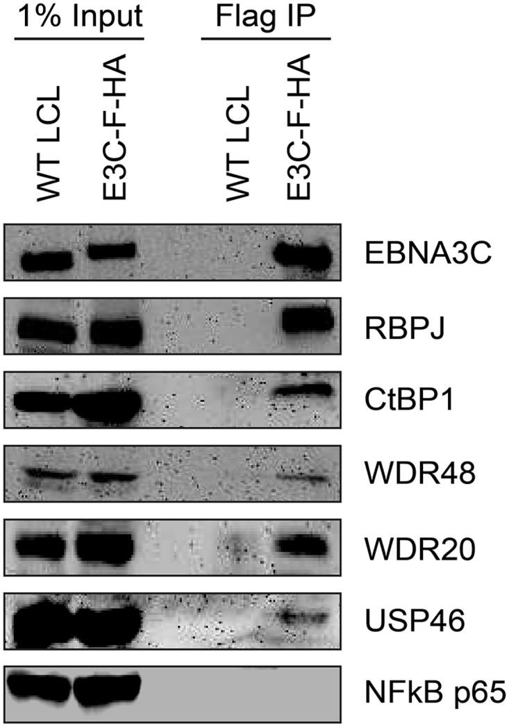 EBNA3C associates with the WDR48/USP46 complex in EBNA3C-F-HA LCLs. Immunoprecipitation assay using Flag agarose to retrieve protein complexes from EBNA3C-F-HA LCLs (E3C-F-HA) is compared to flag immunoprecipiates from untagged wildtype (WT) LCLs. One percent of total cell lysate (Input) or immunoprepicitated specimens using Flag agarose (Flag IP) were separated by SDS PAGE and probed using antibodies to EBNA3C, RBPJ, CtBP1, WDR48, WDR20, USP46, or NF-kB p65.