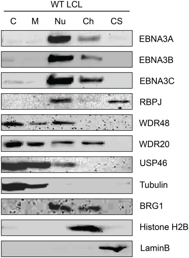 Subcellular localization of USP46 complexes in LCLs. Wild type LCLs were extracted into five subcellular fractions [cytoplasm (C), membrane (M), soluble nuclear (Nu), chromatin (Ch), cytoskeleton (CS)], resolved by SDS-PAGE and probed for EBNA3 proteins, RBPJ, and components of the USP46 complex (USP46, WDR20, and WDR48). Fraction purity was assessed by probing for tubulin, BRG1, Histone H2B, and LaminB.