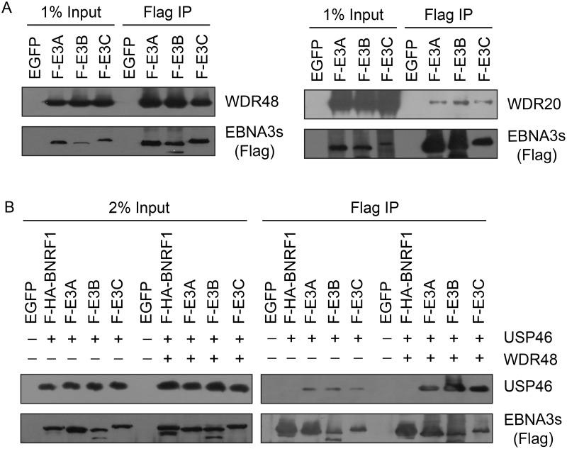 EBNA3 proteins preferentially bind the WDR48 subunit of the USP46 DUB complex. (A) Immunoprecipitation assay in 293T cells demonstrating association of flag tagged EBNA3 proteins (F-E3A, F-E3B, and F-E3C) with WDR48 (left) and WDR20 (right). (B) Immunoprecipitation assay demonstrating WDR48 cotransfection enhanced USP46 association with EBNA3s (right panel, compare lanes 3–5 with 8–10). Epitope tagged BNRF1 (F-HA-BNRF1), an EBV protein of approximately the same size as the EBNA3 is included as an additional negative control. One percent (panel A) or two percent (panel B) of the input are shown for comparison.